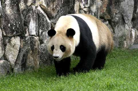 ジャイアントパンダの画像 p1_28